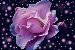 rose-574020_960_720