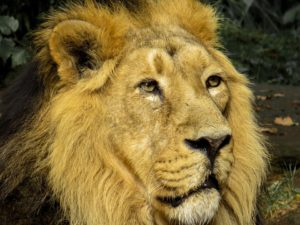 free picture lion-976385_960_720