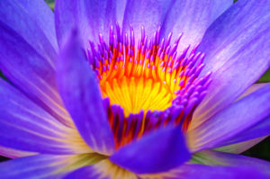 free picture waterlily