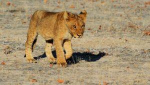 lion-chillervirus