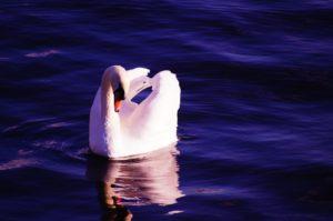 swan-1002943_960_720